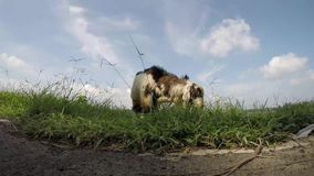 Cabra vieja del dólar del billy que pasta la hierba en la orilla del lago metrajes