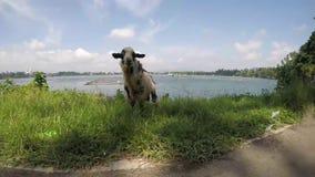 Cabra vieja del dólar del billy que pasta la hierba en la orilla del lago almacen de metraje de vídeo