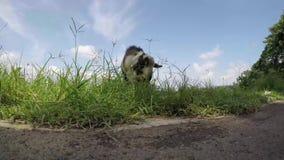 Cabra vieja del dólar del billy que pasta la hierba en la orilla del lago almacen de video