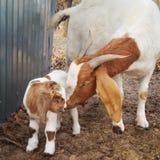 Cabra y bebé de la madre Foto de archivo
