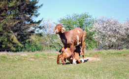 Cabra y bebé de la mamá Fotografía de archivo libre de regalías