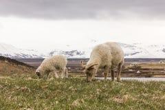 Cabra y bebé que comen la hierba con el fondo nevoso de la montaña Fotos de archivo libres de regalías