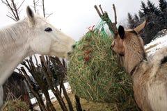 Cabra y caballo que comen el heno durante invierno Imagen de archivo