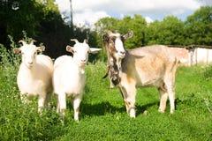 Cabra y dos niños en la hierba verde Foto de archivo