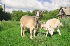 Cabra y dos niños en la hierba verde Imagenes de archivo