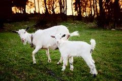 Cabra y el goatling Foto de archivo