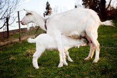 Cabra y el goatling Foto de archivo libre de regalías