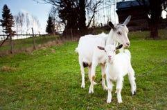 Cabra y el goatling Fotografía de archivo libre de regalías