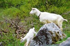 Cabra y niño blancos Imagen de archivo