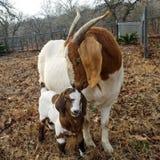 Cabra y niño de la madre Fotos de archivo