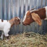 Cabra y niño de la madre Imagen de archivo