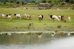 Cabra y ovejas en una granja natural Fotografía de archivo libre de regalías