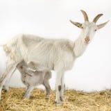 Cabra y sus cabritos Imagen de archivo libre de regalías
