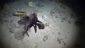 Cabracho cerca de la concha marina en fondo de la parte inferior arenosa subacuática en el Mar Rojo almacen de video