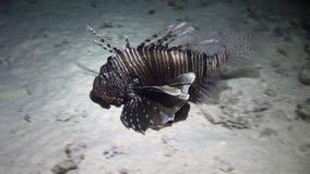 Cabracho cerca de la concha marina subacuática en parte inferior arenosa en el Mar Rojo almacen de video