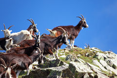 Cabras Foto de Stock