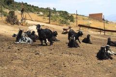 Cabras Foto de Stock Royalty Free