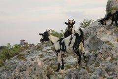Cabras Fotografía de archivo libre de regalías