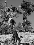 Cabras Imagen de archivo