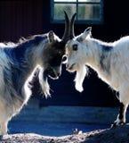 Cabras Fotografia de Stock Royalty Free
