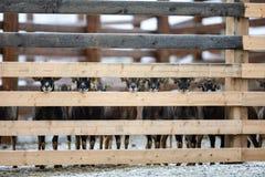 Cabras adorables lindas de la granja que se colocan en fila imagen de archivo