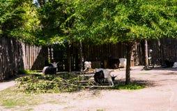 Cabras adultas selvagens imagens de stock