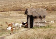 Cabras africanas Imagem de Stock