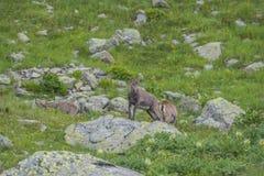 Cabras alpinas nas rochas, montagem Bianco, montagem Blanc, cumes, Itália Fotografia de Stock