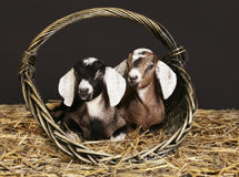 Cabras anglo-nubian en la cesta Imágenes de archivo libres de regalías