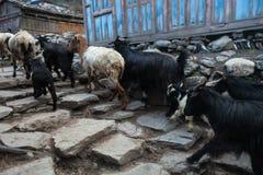 Cabras animales de la caravana que cruzan el pueblo Foto horizontal Foto de archivo libre de regalías