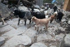 Cabras animales de la caravana que cruzan el pueblo Foto horizontal enmascarado Fotos de archivo