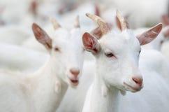 Cabras blancas Foto de archivo