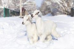 Cabras blancas del primer que caminan en nieve Imagenes de archivo