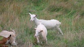 Cabras blancas y marrones que dan une vuelta en la hierba larga que mira en cámara almacen de video