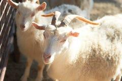 Cabras brancas Imagem de Stock