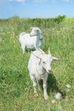 Cabras brancas Fotografia de Stock