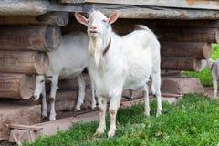 Cabras brancas na vila que andam perto de uma casa de madeira Imagens de Stock
