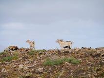 Cabras canarias de la isla en una colina de Fuerteventura Fotos de archivo
