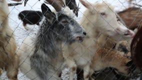 Cabras com fome que comem o pão do inverno da neve da mão vídeos de arquivo