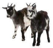 Cabras comuns do ao oeste de France Fotografia de Stock