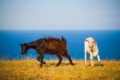 Cabras crimeanas Fotos de Stock Royalty Free