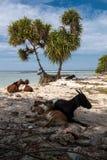 Cabras da praia Foto de Stock