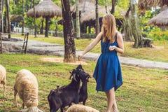 Cabras de alimentação do bebê da jovem mulher atrativa imagem de stock