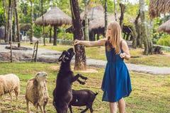 Cabras de alimentación atractivas del bebé de la mujer joven fotos de archivo libres de regalías