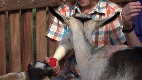 Cabras de alimentación del muchacho en la granja almacen de video