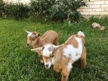 Cabras de Brother Foto de archivo