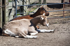 Cabras de descanso Fotografia de Stock