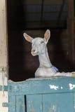 Cabras de Domastic na feira de condado fotografia de stock