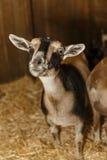Cabras de Domastic na feira de condado Fotos de Stock