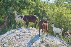 Cabras de Grama-Fed no pasto imagem de stock royalty free